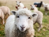 Record volumes of lamb exported by Australia and New Zealand