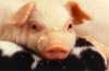 "Expert: ""The real big drop in hog numbers will start in August"""