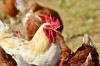 Ukraine targets China as the next poultry export market